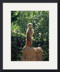 Meerkat Lookout by Jacque Alameddine