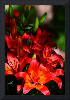 Dramatic Asiatic Lilies