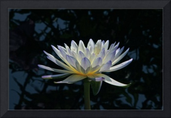 Luminous Water Lily