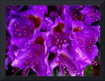 Psychedelic Rhododendron