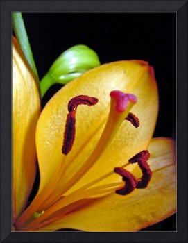 Yellow Day Lily 96a