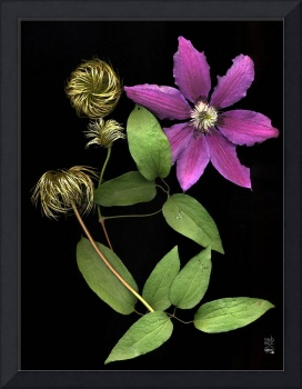 Bright Pink Clematis