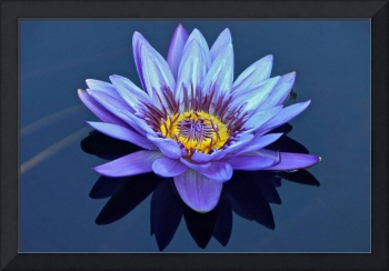 Single Lavender Water Lily