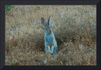 Standing Cottontail