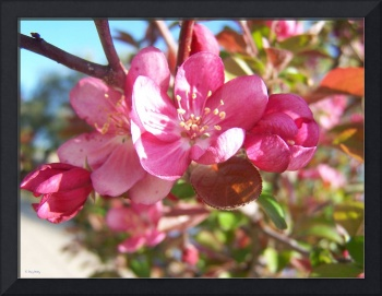 One Bunch of Crabapple Blossoms