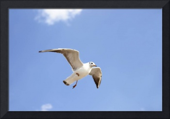 White seabird flying and soaring in the blue air.