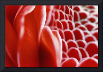 Red Torch Ginger, Close-Up Of Patterns In Flower C