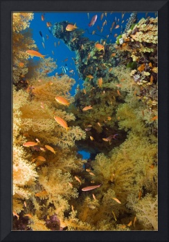 Fiji, Alconarian Coral And Schooling Anthias
