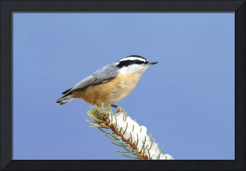Red-Breasted Nuthatch Photograph