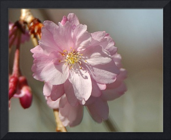 Japanese Cherry Tree Bloom