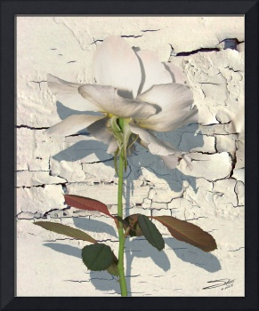 White Rose on Paint Chipped Wall