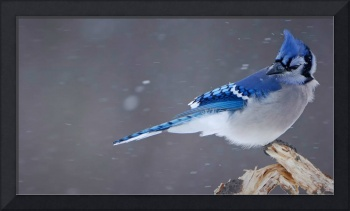 Blue Jay Bird