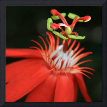 Passiflora vitifolia - Scarlet Red Passion Flower