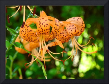 Tiger Lily Fine art photography Baslee Troutman