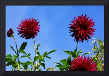 Blue Sky Dahlia Flower Fine Art Prints Gifts