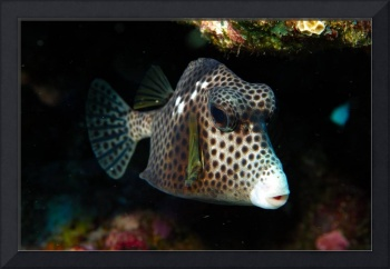 Boxfish Frontal