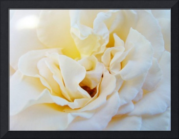 Love Rose Flower art prints White Roses