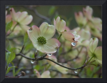 Dogwood in Rain, Dee Oberle