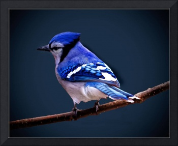 Mr. Blue Jay in Blue.