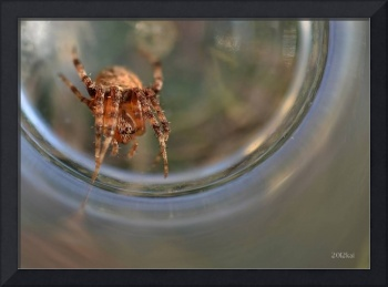 Western Widow Spider