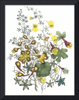 Tropaeolum Flowers by Jane Webb Loudon