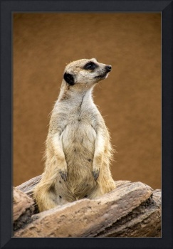 The Inquisitive Meerkat