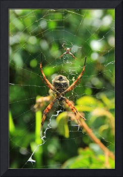 Orb Weaver Spider and Its Web