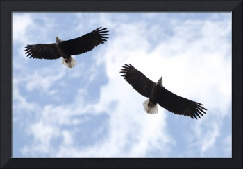 Bald Eagles Soaring In The Sky