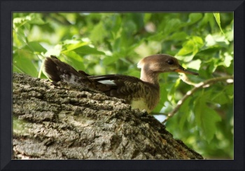 Immature Hooded Merganser