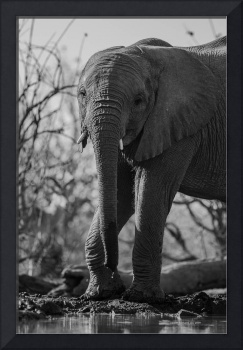 Elephant with Short Tusks by Waterhole Black&White