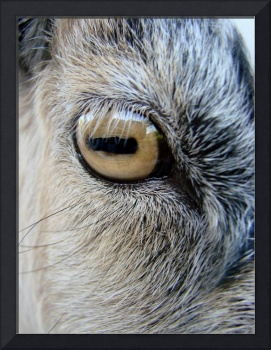 GOAT EYEBALL
