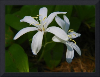 Bride's bonnet Queen cup Clintonia uniflora