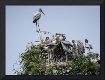 Fighting Yellow Billed Storks
