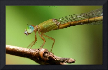 A damsel fly sitting on a branch and Smiling ....