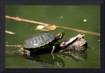 TURTLE, WATER, COLOR, SWIM, PARKS, NATURE, GREEN
