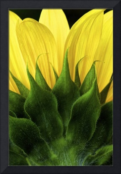 Sunflower Texture and Form by Jim Crotty