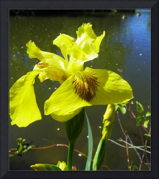 Botanical - Wild Iris - Outdoors Floral
