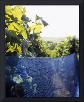 Grape vines covered with a net in a vineyard