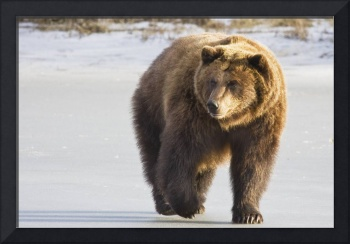 Grizzly walking in snow at the Alaska Wildlife Con