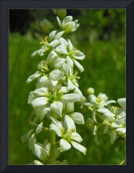 Botanical - Corn Lily - Outdoors Floral