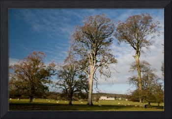 Beech Trees  and a Grand House