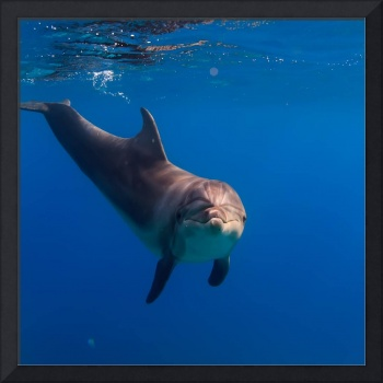 Dolphin Photo Framed Print