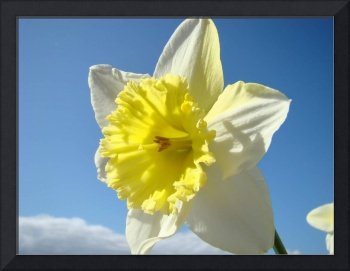 Daffodils Flowers Spring Blue Sky Art Prints