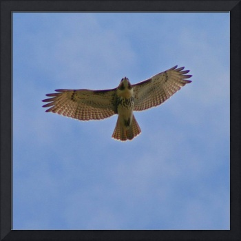 Red-Tailed Hawk with blue sky