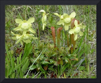 Pitcher Plants II