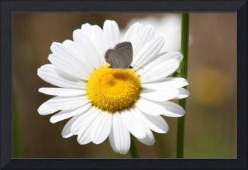 Butterfly Eastern Tailed Blue on Daisy