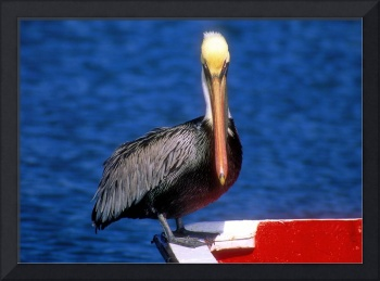 Looking a Pelican In The Eyes