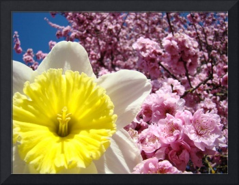 Daffodil Flower art prints Pink Tree Blossoms