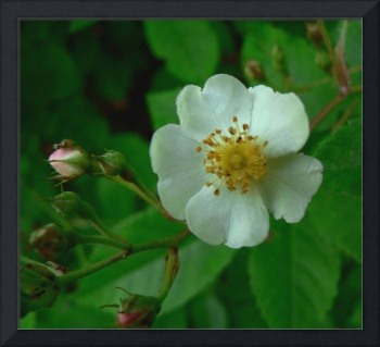 New York Wildflower - Multiflora Rose