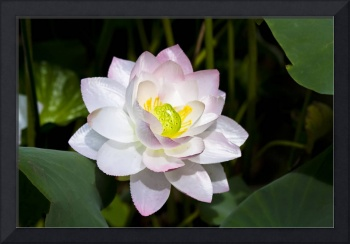 140- Water Lilly Lotus white and yellow